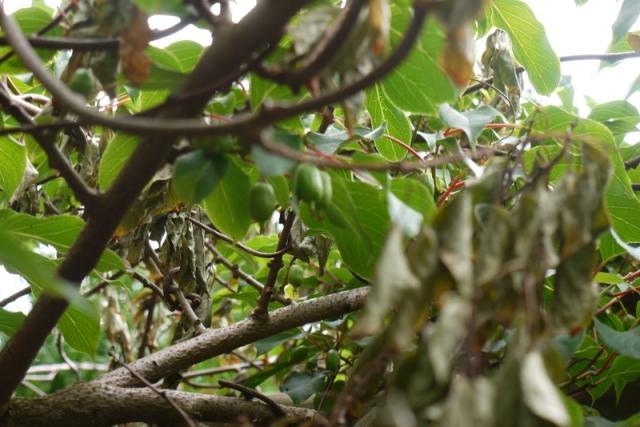 kiwi P1190440